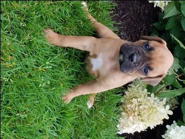 Litter Of 5 Boxer Puppies For Sale In Apple Creek Oh Adn 41982 On Puppyfinder Com Gender Male Age 6 Puppies For Sale Boxer Puppies Boxer Puppies For Sale