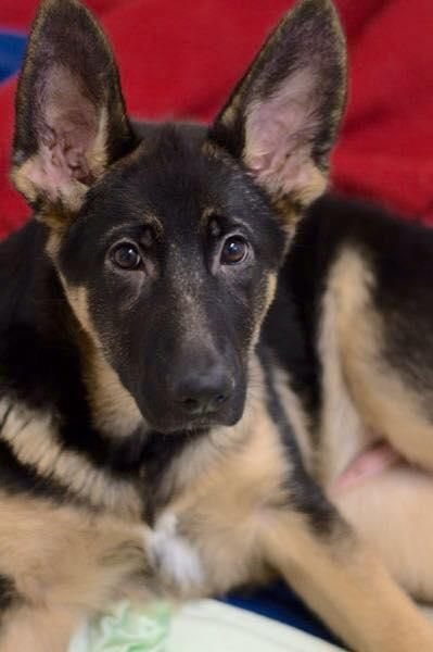Adopt Heidi On German Shepherd Adoption Animal Rescue Cute Animals