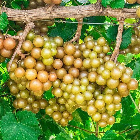 Oh My Seedless Grape In 2020 Grape Vines Grapes Edible Garden