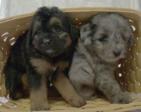 Cheyenne Farm Kennels Mini Aussie And Aussiedoodle Breeder