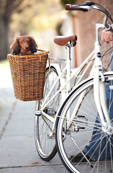 Doxie in bike basket Velo Retro, Velo Vintage, Vintage Bicycles, Tricycle, Vespa, Photo Velo, Niedlicher Panda, Cycle Chic, Dachshund Love