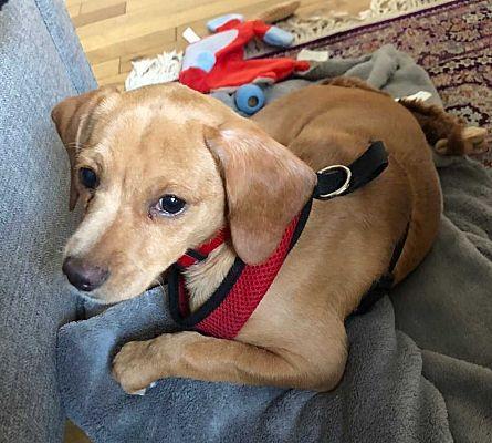 New York Ny Dachshund Meet Bear A Dog For Adoption Dachshund Adoption Pets Kitten Adoption