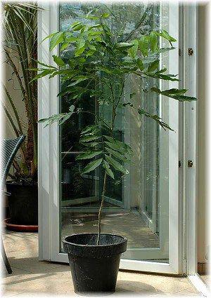 Seifenbaum Waschnussbaum Sapindus Mukorossi Tropische Garten Kubelpflanzen Pflanzen