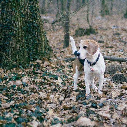 Eliminate Over 30 Common Behavioral Beagle Issues Beagle