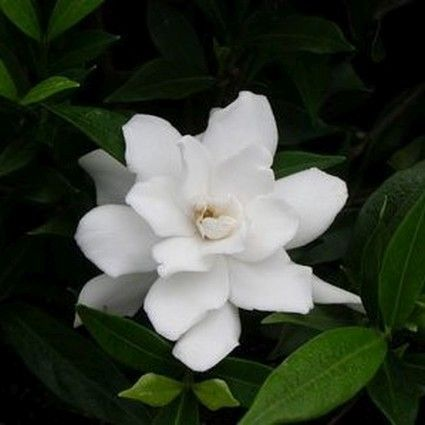 Frost Proof Gardenia Buy At Nature Hills Nursery Flower