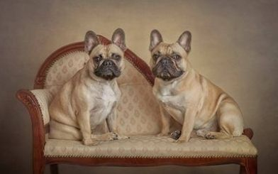 Download Wallpapers French Bulldogs Dogs On A Chair Small Brown Dogs Pets Cute Animals Dog In 2020 Cute Animals French Bulldog French Bulldog Halloween Costumes