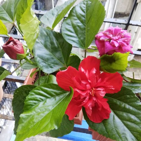 Hibiscus Flower This Flower Had A Significant Role In Ganesh Chaturthi Festival As We Everyone Know This Flowe In 2020 Plant Nursery Hibiscus Flowers Plant Life