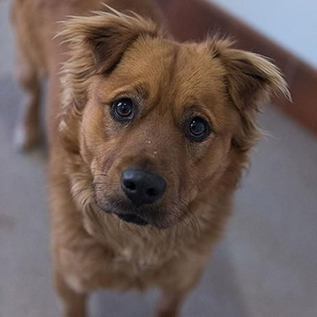 Adopt A Male Chow Chow Mixed Adult Size Tan Color Named Finnegan From Best Friends Animal Sanctuary In Southern Utah Dog Adoption Chow Chow Puppy Animals