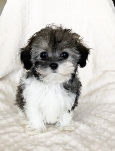 iHeartTeacups - We have beautiful and tiny Teacup and Micro mini sized Tea Puppies for sale in California!!! We specialize in tiny Teacup Yorkies, Teacup Morkies, Teacup Malteses, Teacup Maltipoos, Teacup Shorkies, Teacup Pomeranian and other teacup sized puppy breeds!!! We have the tiniest and custest puppies in Los Angeles! We also specialized in the itty bitty luxury purse pocket Micro Teacup puppies. Enjoy your visit at iHeartTeacups.com, Thank You!