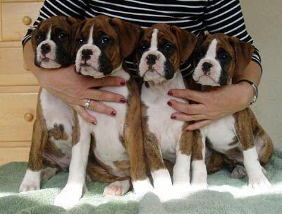 Litter Of 3 American Bulldog Puppies For Sale In Omaha Ne Adn