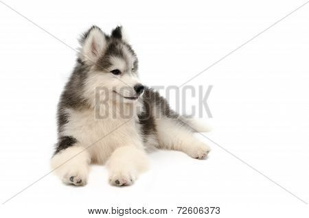 Cute Little Husky Puppy Isolated On White Background Poster