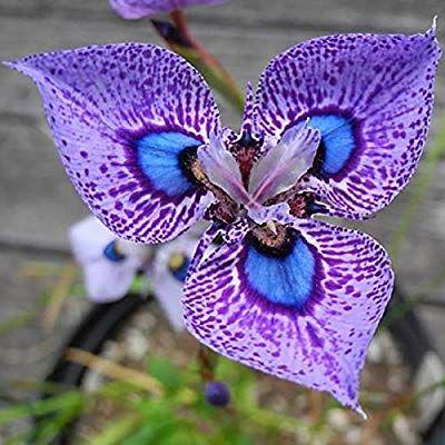 Amazon Com Hoo Products 200pcs Phalaenopsis Orchid Flowers Seed Bonsai Pot Seeds Senior Ornamental Home Garden Unusual Flowers Strange Flowers Orchid Flower