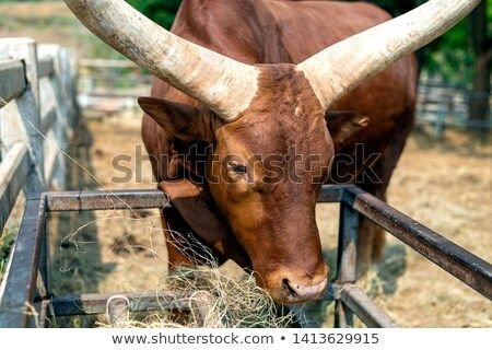 Closeup Watusi Bull King Of Cow Eating Grass With Soft Focus And Over Light In The Background ภาพประกอบ ภาพ นายแบบ