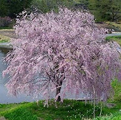 Amazon Com Weeping Yoshino Cherry Tree Shidare Established Roots 2 5 Potted 3 Plants By Growers Weeping Cherry Tree Flowering Trees Flowering Cherry Tree