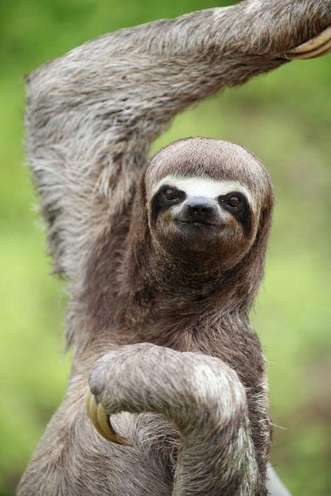 кураторы доводили ленивец фото животного для треугольной