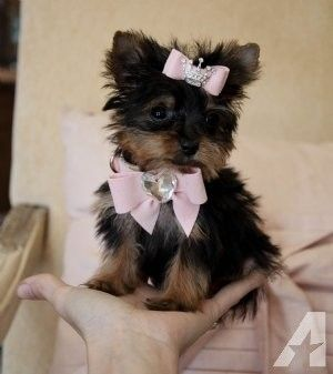 Pin By Beatriz Alfaro On Betty With Images Yorkie Puppy Teacup Yorkie Puppy Miniature Yorkie Puppies