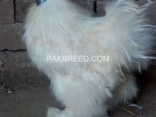 Https Www Pakbreed Com White Silky Male For Sale 1751 National Animal Buy Pets Birds For Sale