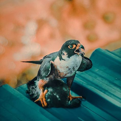 ANGRY & HUNGRY Falcon bird. #falcon #bird #killingpigeons #pigeon #murder #myphotography...  ANGRY & HUNGRY Falcon bird. #falcon #bird #killingpigeons #pigeon #murder #myphotography #2019 #photo #pic #picture #instagood #picoftheday #photooftheday #color #all_shots #exposure #composition #focus #capture #moment