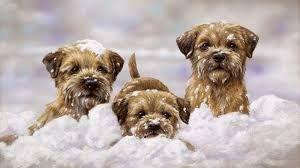 Bilderesultat For Border Terrier Birthday Card