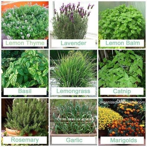 Good plants to have around to keep away the mosquitos.