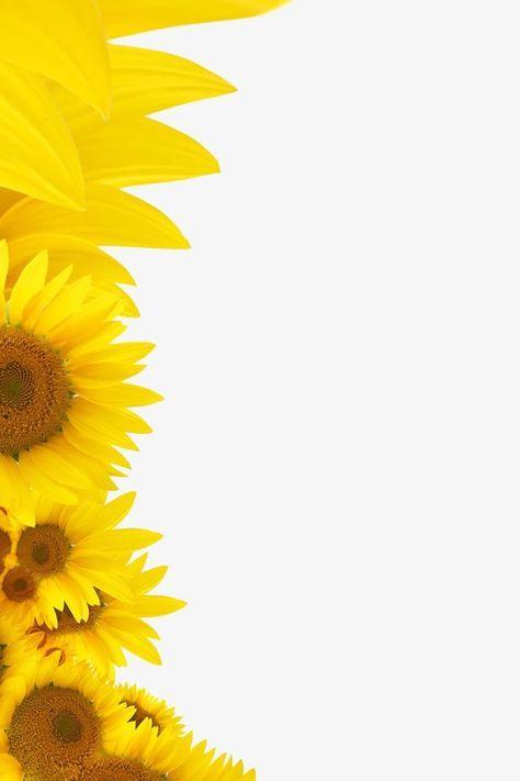 Girassol Flores Amarelo Sementes De Girassol Arquivo Png E Psd