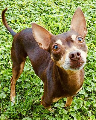 Rockville Md Chihuahua Meet Joey A Pet For Adoption Pet