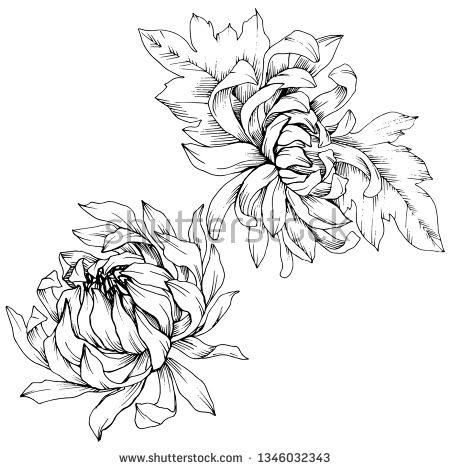 Stock Vector Vector Chrysanthemum Floral Botanical Flowers Wild Spring Leaf Wildflower Isolated Black Botanical Flowers Floral Botanical Flower Illustration