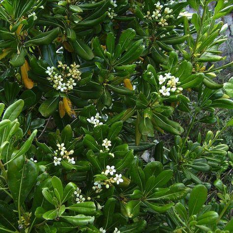 Pittosporum tobira - Pittospore du Japon parfumé | Arbuste ...