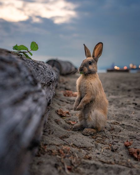 A Rabbit Enjoys An Evening Snack On Jericho Beach In Vancouver Jericho Is Home To A Vast Array Of Wildlife That Make Their Animals Beach Bunny Funny Animals