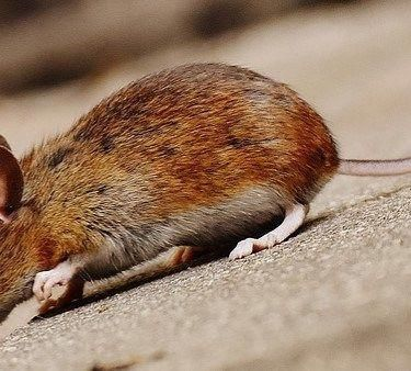 The Existence Of Mice Around The Environment Is Harmful For Human