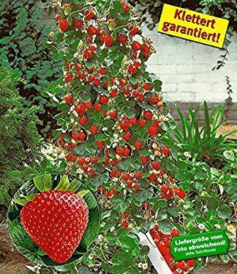Baldur Garten Kletter Erdbeere Hummi 3 Pflanzen Fragaria Erdbeerbaumchen Schnellwa Growing Tomato Plants Growing Organic Tomatoes Upside Down Tomato Planter
