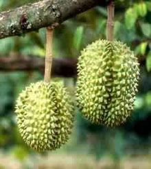 my dad was born in malaysia.  durian is there.  it needs to stay there.  it REALLY stinks.  i can't get past the smell to eat it.  sorry dad.