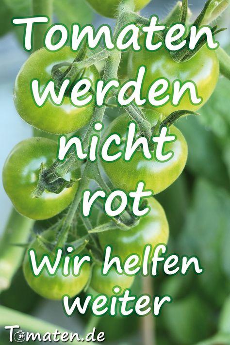 Tomaten Werden Nicht Rot Tomaten Reifen Lassen In 2020 Tomaten Nachreifen Lassen Tomaten Gurkenpflanze