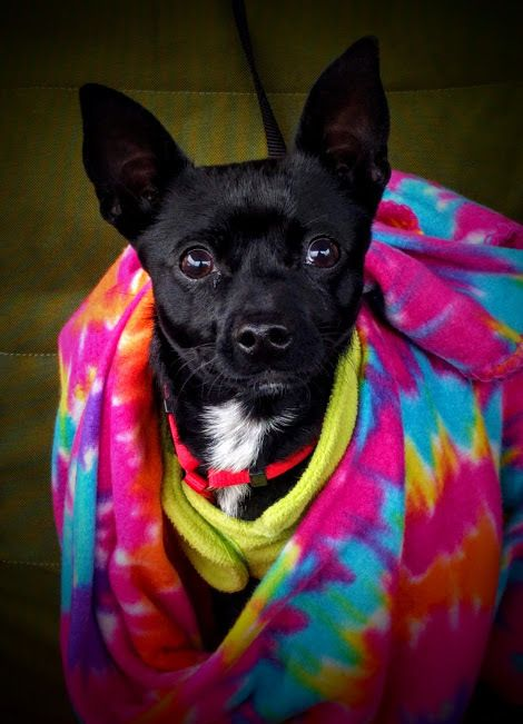 Adopt Buttercup On Small Dog Cage Dog List Chihuahuas For Adoption