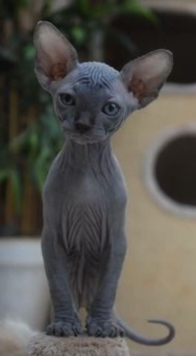 Pin By Anne Louden On Hairless Cats Cute Animals Cats Sphynx Cat