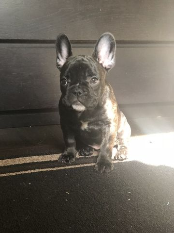 French Bulldog Puppy For Sale In Long Beach Ca Adn 71216 On