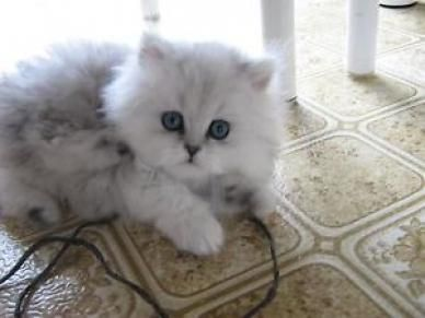 Chat Persan Blanc A Vendre Cats