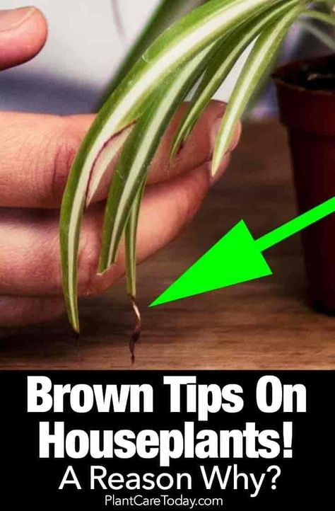 Brown Tips On Houseplants Leaves A Reason Why Plants Plant Care Houseplant House Plants Indoor