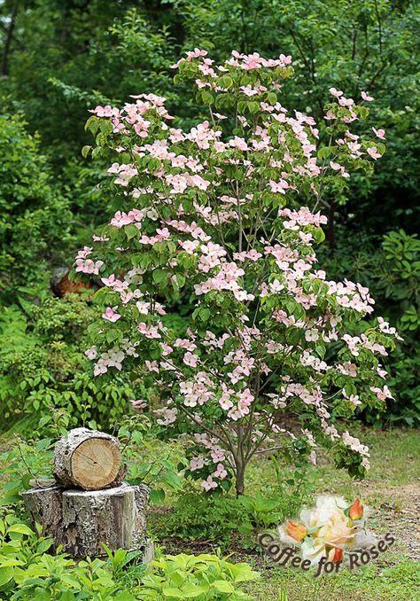 I Love Cornus Kousa Satomi The Pink Kousa Dogwood
