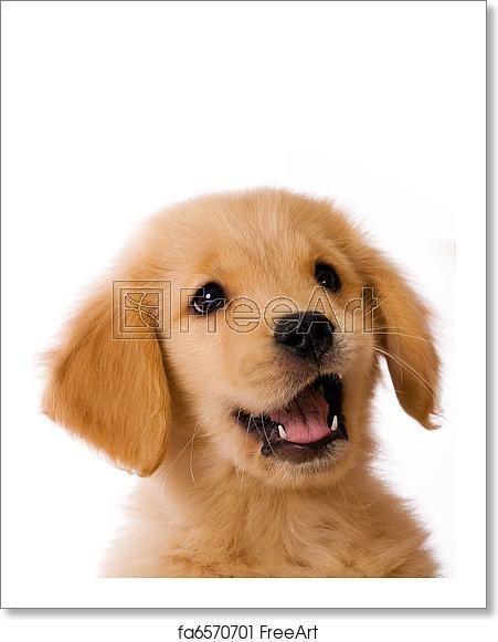 Freeart Fa6570701 Golden Retriever Puppy Cute Puppies Golden Retriever Retriever Puppy