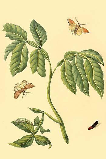 Surinam Butterflies Moths Caterpillars By Jan Sepp 25 Art Print Art Prints Moth Caterpillar Art