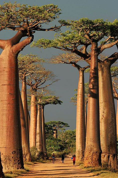Oddly Beautiful, Weird, And Exotic Places That Tease The Imagination (Photos) Baobab Alley, Morondava, Madagascar Weird Trees, Baobab Tree, Unique Trees, Old Trees, Exotic Places, Nature Tree, Tree Of Life, Amazing Nature, Trees To Plant