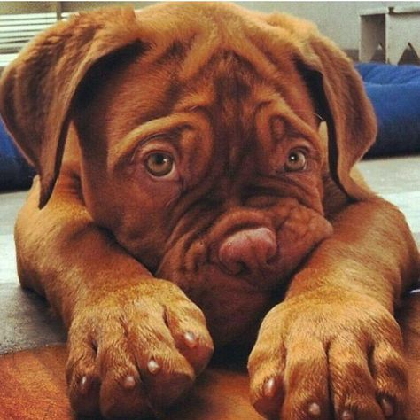 23 Indisputable Reasons Why It's Time To Get Mastiffs | Page 2 of 3 | PetPress