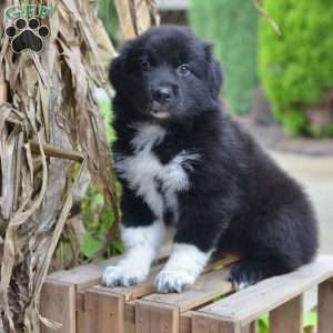 Jackie Australian Shepherd Puppy For Sale In Ohio Australian Shepherd Puppy Australian Shepherd Puppies Australian Shepherd