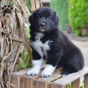 Jackie Australian Shepherd Puppy For Sale In Ohio Australian Shepherd Puppy Australian Shepherd Puppies Australian Shepherd