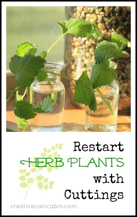 Take Cuttings from Fresh Herb Plants and Restart them for your own Garden ~ Creative Cain Cabin