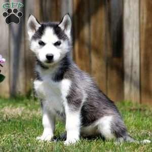 New Arrivals Siberian Husky Funny Husky Puppies