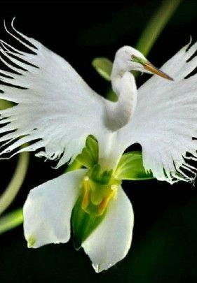 Egrow 200pcs Japanese Egret Flowers Seeds White Egret Orchid Seeds Radiata Rare White Orchid Home Garden