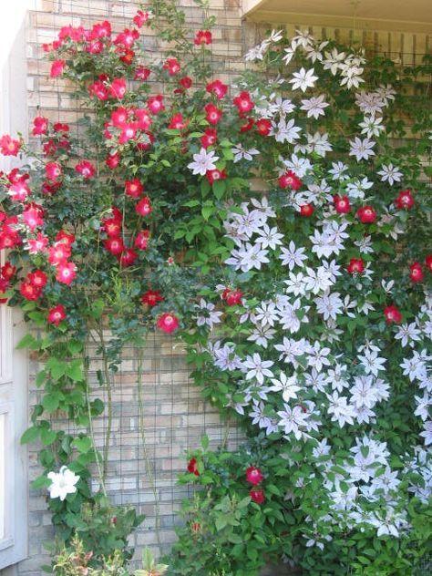 Enredadera De Flores Rojas Y Otra Variedad De Enredadera Con Flor Blanca Enredaderas Enredaderas Con Flores Plantas Trepadoras