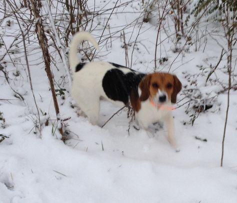 First Snow For This Beagle Ne Alabama Beagle Corgi First Snow